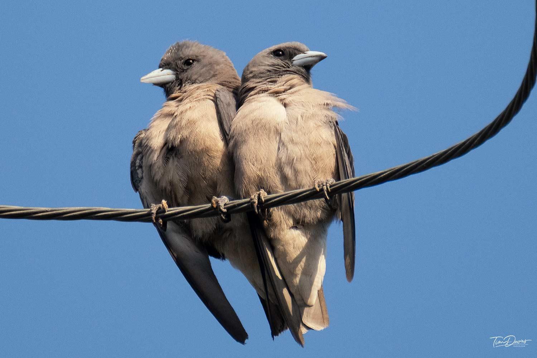 Thailand Bird watching - Ashy Woodswallows