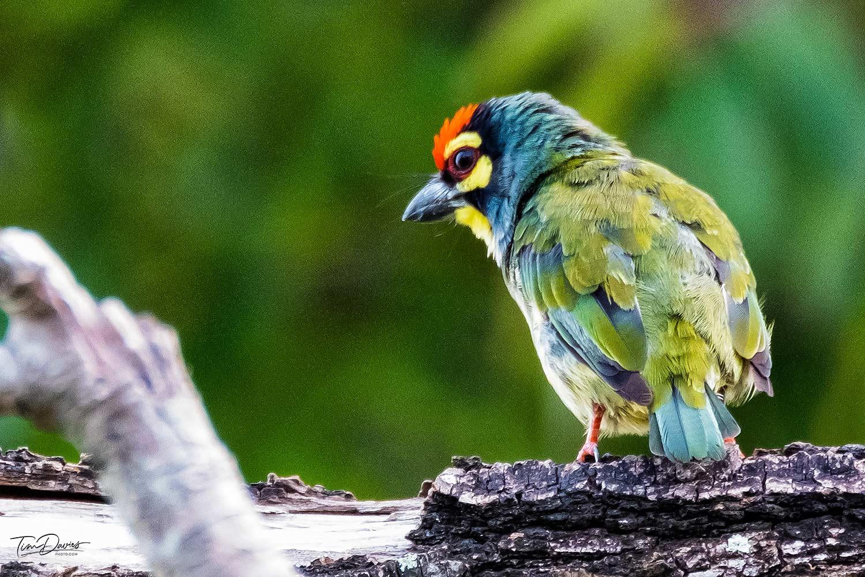 North Thailand Birding
