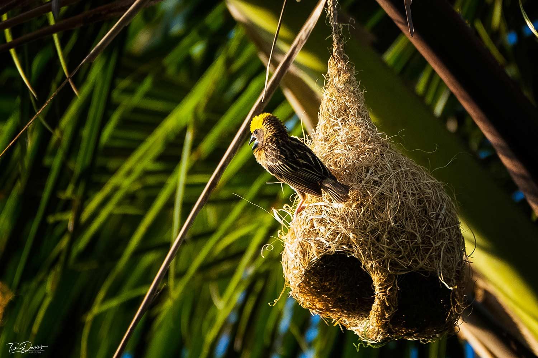Weaver bird - Birdwatch at The Four Seasons Chiang Mai